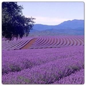 lavenderfield2